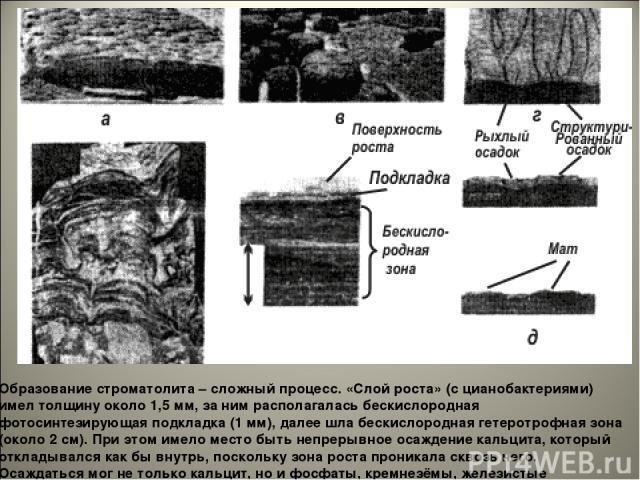 Образование строматолита – сложный процесс. «Слой роста» (с цианобактериями) имел толщину около 1,5 мм, за ним располагалась бескислородная фотосинтезирующая подкладка (1 мм), далее шла бескислородная гетеротрофная зона (около 2 см). При этом имело …