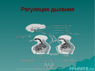 Регуляция дыхания