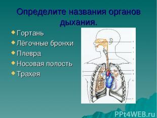 Определите названия органов дыхания. Гортань Лёгочные бронхи Плевра Носовая поло
