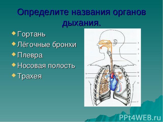 Определите названия органов дыхания. Гортань Лёгочные бронхи Плевра Носовая полость Трахея