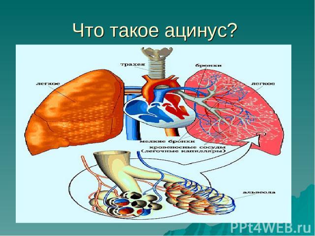 Что такое ацинус?