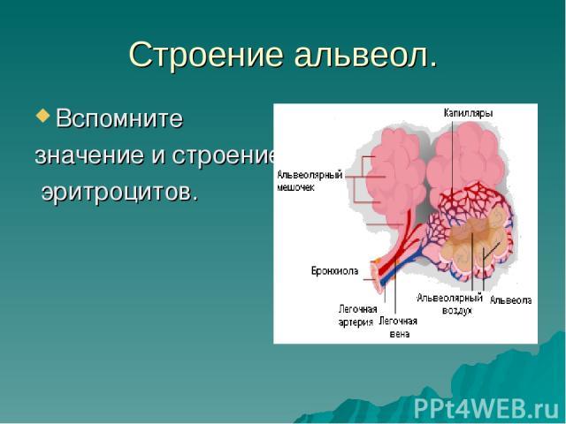 Строение альвеол. Вспомните значение и строение эритроцитов.