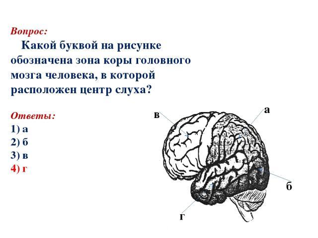 Вопрос: Какой буквой на рисунке обозначена зона коры головного мозга человека, в которой расположен центр слуха? Ответы: 1) а 2) б аааа 3) в 4) г а б в г