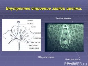 Внутреннее строение завязи цветка. Яйцеклетка (n) Центральная клетка (2n) Клетки