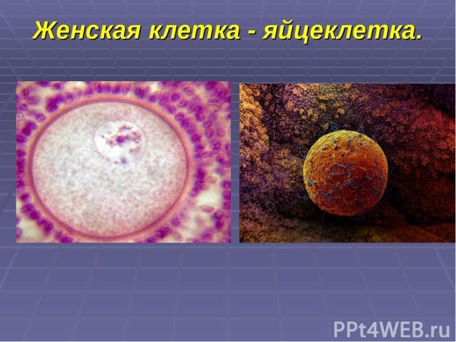 Женская клетка - яйцеклетка.