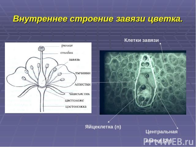 Внутреннее строение завязи цветка. Яйцеклетка (n) Центральная клетка (2n) Клетки завязи