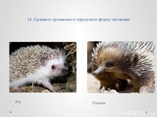 14. Сравните организмы и определите форму эволюции Еж Ехидна
