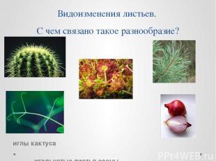Видоизменения листьев. С чем связано такое разнообразие? иглы кактуса игольчатые