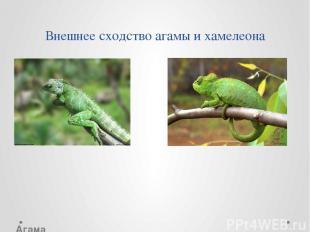 Внешнее сходство агамы и хамелеона Хамелеон Агама