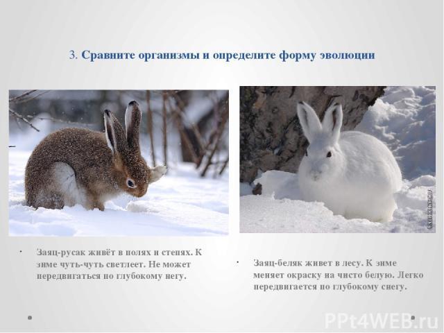 3. Сравните организмы и определите форму эволюции Заяц-русак живёт в полях и степях. К зиме чуть-чуть светлеет. Не может передвигаться по глубокому негу. Заяц-беляк живет в лесу. К зиме меняет окраску на чисто белую. Легко передвигается по глубокому…