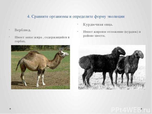 4. Сравните организмы и определите форму эволюции Верблюд. Имеет запас жира , содержащийся в горбах. Курдючная овца. Имеет жировое отложение (курдюк) в районе хвоста.