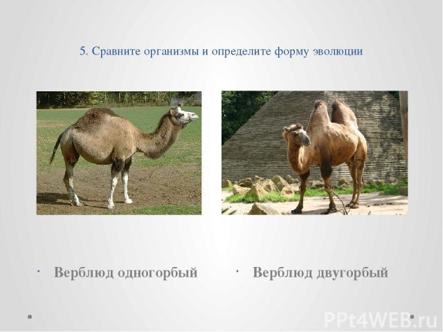 5. Сравните организмы и определите форму эволюции Верблюд одногорбый Верблюд двугорбый