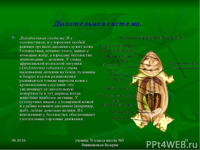 * ученица 7б класса школы №5 Вишневецкая Валерия * Дыхательная система. Дыхательная система. И у головастиков, и у взрослых особей важным органом дыхания служит кожа. Головастики, помимо этого, дышат с помощью жабр, а взрослые бесхвостые земноводные…