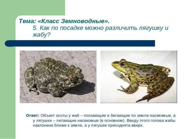 Тема: «Класс Земноводные». 5. Как по посадке можно различить лягушку и жабу? Ответ: Объект охоты у жаб – ползающие и бегающие по земле насекомые, а у лягушки – летающие насекомые (в основном). Ввиду этого голова жабы наклонена ближе к земле, а у ляг…