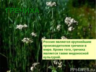 ГРЕЧИХА Россия является крупнейшим производителем гречихи в мире. Кроме того, гр