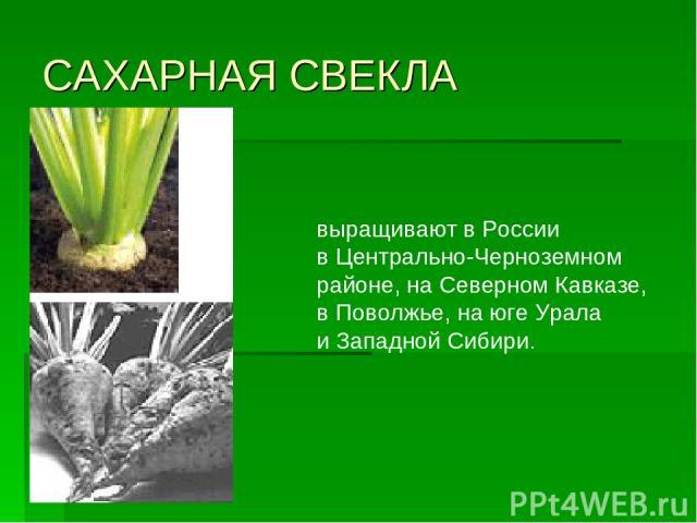 САХАРНАЯ СВЕКЛА выращивают вРоссии вЦентрально-Черноземном районе, наСеверном Кавказе, вПоволжье, наюге Урала иЗападной Сибири.