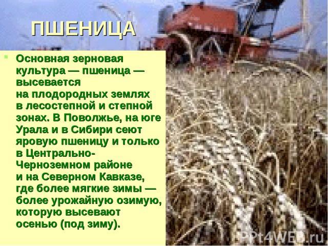 ПШЕНИЦА Основная зерновая культура— пшеница— высевается наплодородных землях влесостепной истепной зонах. ВПоволжье, наюге Урала ивСибири сеют яровую пшеницу итолько вЦентрально-Черноземном районе инаСеверном Кавказе, где более мягкие з…