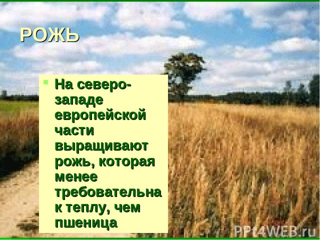 РОЖЬ Насеверо-западе европейской части выращивают рожь, которая менее требовательна ктеплу, чем пшеница