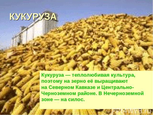 КУКУРУЗА Кукуруза— теплолюбивая культура, поэтому назерно еёвыращивают наСеверном Кавказе иЦентрально-Черноземном районе. ВНечерноземной зоне— насилос.