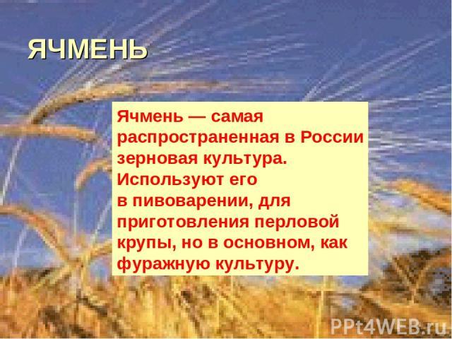 ЯЧМЕНЬ Ячмень— самая распространенная вРоссии зерновая культура. Используют его впивоварении, для приготовления перловой крупы, новосновном, как фуражную культуру.