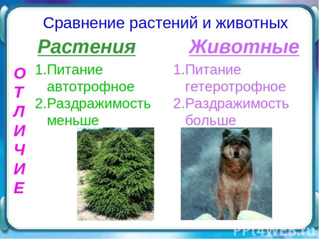 О Т Л И Ч И Е Сравнение растений и животных Растения Животные 1.Питание автотрофное 2.Раздражимость меньше 1.Питание гетеротрофное 2.Раздражимость больше