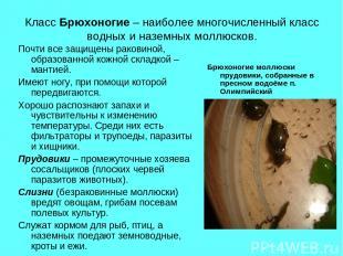 Класс Брюхоногие – наиболее многочисленный класс водных и наземных моллюсков. По