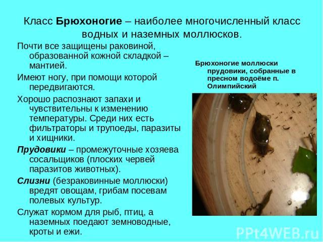 Класс Брюхоногие – наиболее многочисленный класс водных и наземных моллюсков. Почти все защищены раковиной, образованной кожной складкой – мантией. Имеют ногу, при помощи которой передвигаются. Хорошо распознают запахи и чувствительны к изменению те…