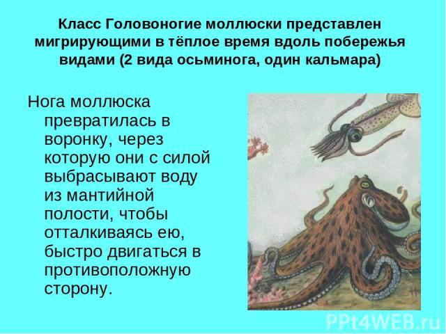 Класс Головоногие моллюски представлен мигрирующими в тёплое время вдоль побережья видами (2 вида осьминога, один кальмара) Нога моллюска превратилась в воронку, через которую они с силой выбрасывают воду из мантийной полости, чтобы отталкиваясь ею,…