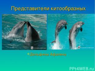 Представители китообразных Дельфины Афалина