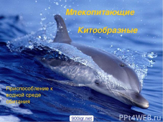 Млекопитающие Приспособление к водной среде обитания Китообразные 900igr.net