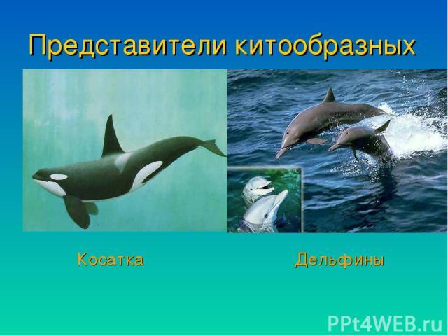 Представители китообразных Косатка Дельфины