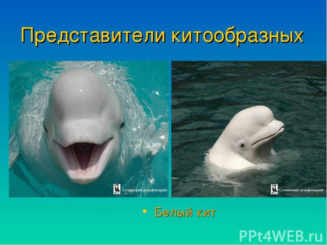 Представители китообразных Белый кит