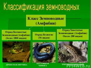 Класс Земноводные (Амфибии) Отряд Бесхвостые Земноводные(Амфибии) (более 1800 ви