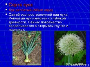 Сорта лука Лук репчатый (Allium cepa) Самый распространенный вид лука. Репчатый