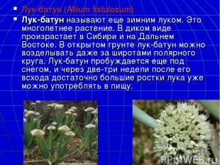 Лук-батун (Allium fistulosum) Лук-батунназывают еще зимним луком. Это многолетн