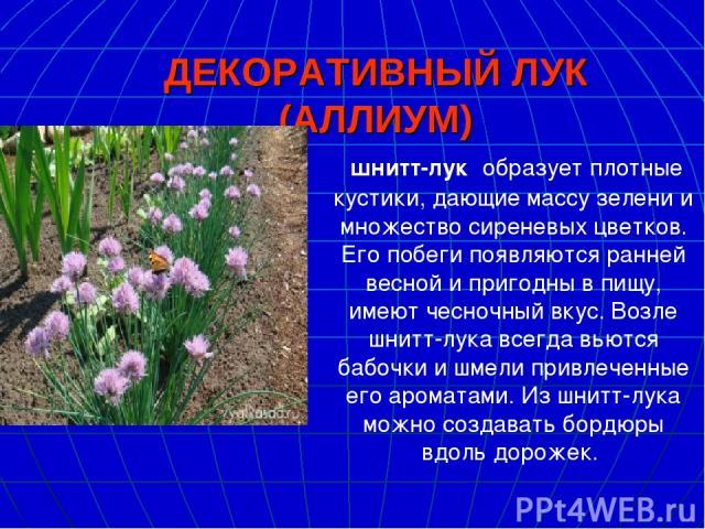ДЕКОРАТИВНЫЙ ЛУК (АЛЛИУМ) шнитт-лук образует плотные кустики, дающие массу зелени и множество сиреневых цветков. Его побеги появляются ранней весной и пригодны в пищу, имеют чесночный вкус. Возле шнитт-лука всегда вьются бабочки и шмели привлеченны…