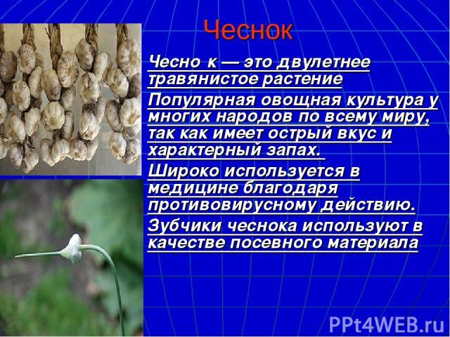 Чеснок Чесно к— это двулетнее травянистое растение Популярная овощная культура у многих народов по всему миру, так как имеет острый вкус и характерный запах. Широко используется в медицине благодаря противовирусному действию. Зубчики чеснока исполь…