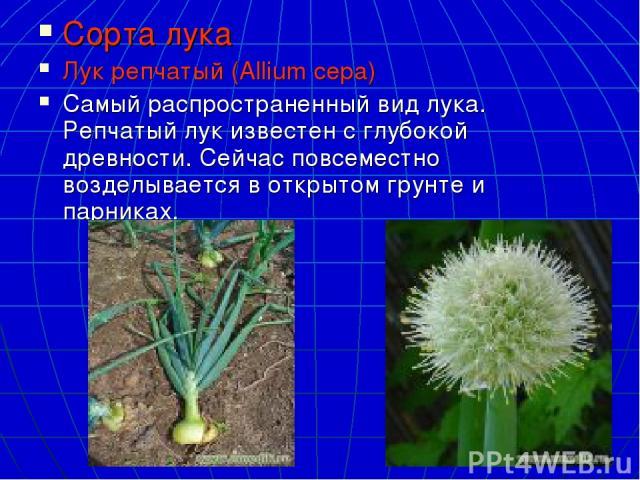 Сорта лука Лук репчатый (Allium cepa) Самый распространенный вид лука. Репчатый лук известен с глубокой древности. Сейчас повсеместно возделывается в открытом грунте и парниках.