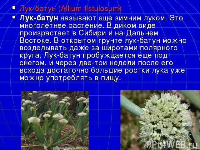 Лук-батун (Allium fistulosum) Лук-батунназывают еще зимним луком. Это многолетнее растение. В диком виде произрастает в Сибири и на Дальнем Востоке. В открытом грунте лук-батун можно возделывать даже за широтами полярного круга. Лук-батун пробуждае…