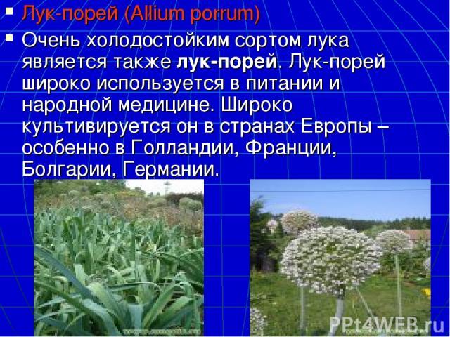 Лук-порей (Allium porrum) Очень холодостойким сортом лука является такжелук-порей. Лук-порей широко используется в питании и народной медицине. Широко культивируется он в странах Европы – особенно в Голландии, Франции, Болгарии, Германии.