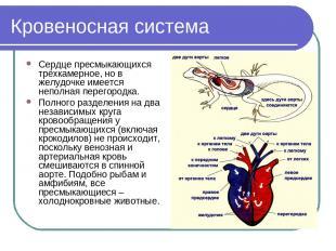 Кровеносная система Сердце пресмыкающихся трёхкамерное, но в желудочке имеется н