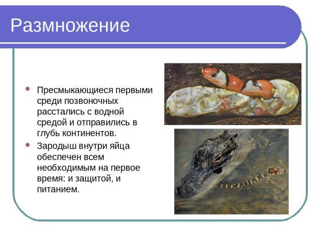 Размножение Пресмыкающиеся первыми среди позвоночных расстались с водной средой и отправились в глубь континентов. Зародыш внутри яйца обеспечен всем необходимым на первое время: и защитой, и питанием.