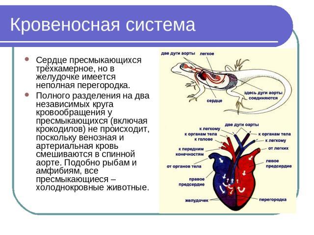 Кровеносная система Сердце пресмыкающихся трёхкамерное, но в желудочке имеется неполная перегородка. Полного разделения на два независимых круга кровообращения у пресмыкающихся (включая крокодилов) не происходит, поскольку венозная и артериальная кр…
