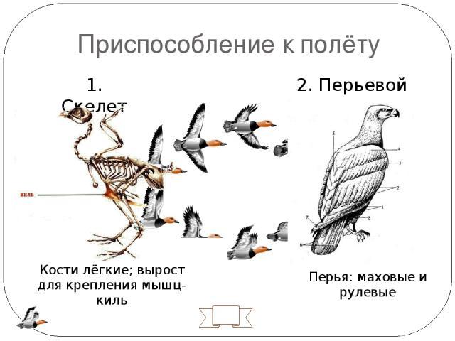 Приспособление к полёту 1. Скелет 2. Перьевой покров № 10 Перья: маховые и рулевые Кости лёгкие; вырост для крепления мышц- киль Киль – вырост для прикрепления грудных мышц. Кости полые, легкие, часть срослись для прочности. У птиц нет желез на коже…