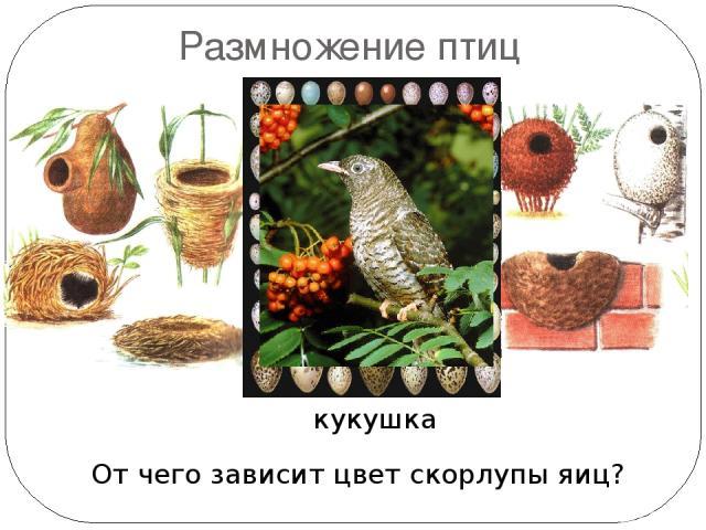 Размножение птиц Какая птица не строит гнезда? От чего зависит цвет скорлупы яиц? кукушка Гнездо дрозда-рябинника