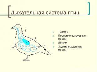 Дыхательная система птиц Трахея; Передние воздушные мешки; Лёгкие; Задние воздуш