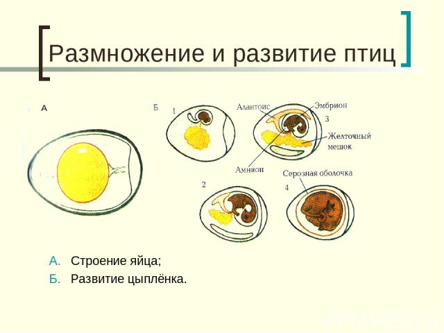 Размножение и развитие птиц А. Строение яйца; Б. Развитие цыплёнка. А