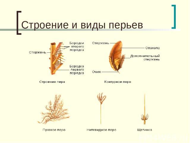 Строение и виды перьев
