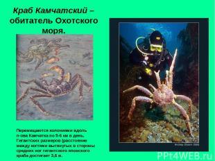 Краб Камчатский – обитатель Охотского моря. Перемещаются колониями вдоль п-ова К
