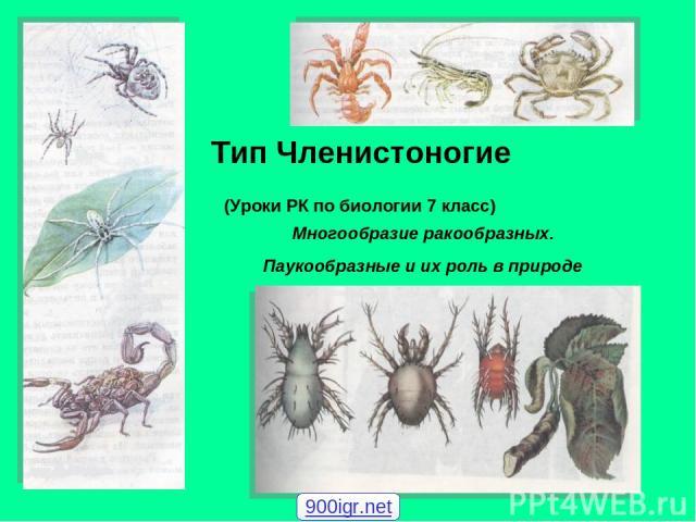 Тип Членистоногие (Уроки РК по биологии 7 класс) Многообразие ракообразных. Паукообразные и их роль в природе 900igr.net
